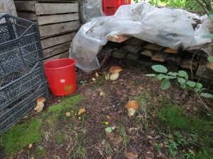 белые грибы на даче