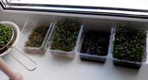 Кресс салат на подоконнике.