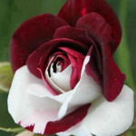 красно белая роза