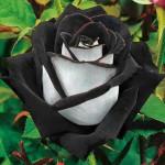 черная роза фото