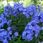 голубые флоксы фото