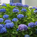 синие флоксы фото