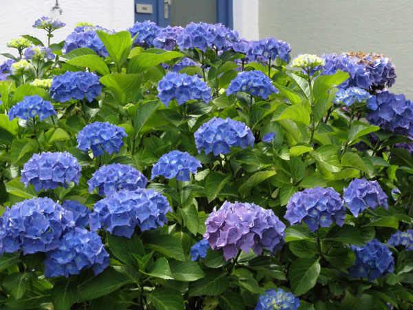 флоксы синие фото