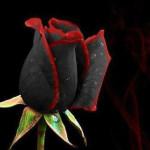 черно красная роза фото