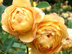 Сорт роз Molineux