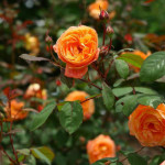 Сорт роз Lady Emma Hamilton