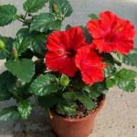Китайская роза - Гибискус, выращивание, уход, болезни