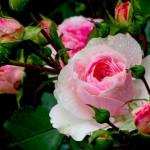 Розы - посадка, уход, подкормка