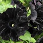 Цветы черного цвета