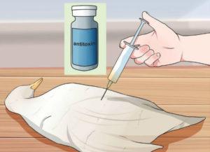 лечение ботулизма у уток