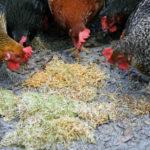 проращиваем зерно для кур