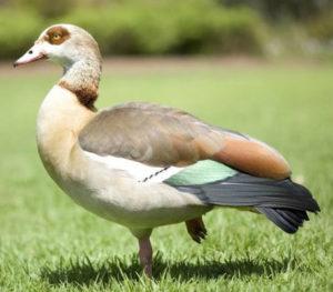 египетские гуси фото