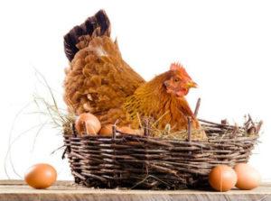 курица на яйцах зимой
