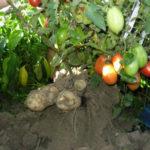 гибрид картофеля и помидор