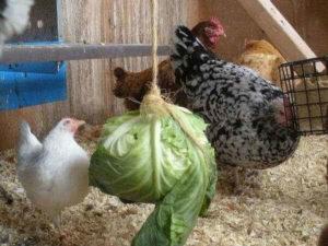 чем кормить кур зимой фото 3