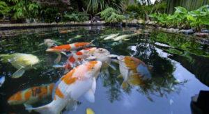 Декоративная рыба для пруда 3