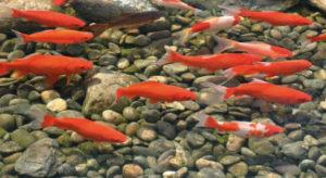 Декоративная рыба для пруда 7