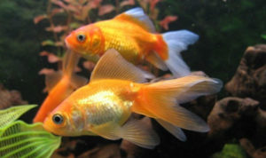 Декоративная рыба для пруда 6