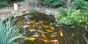 Декоративная рыба для пруда 1